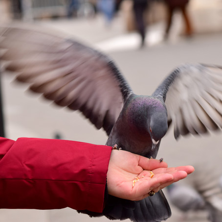 Pigeon Eating Cracked Corn From a Woman's Hand