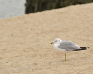 Indy-Anna tried to make friends with a gull, but he had no interest in forming a relationship.