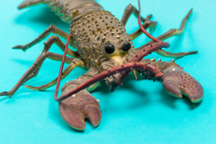 lobster on blue-3.jpg