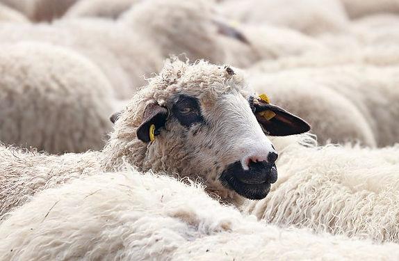 sheep-2292749__480.jpg