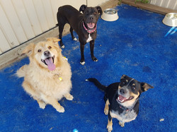 Gold Coast Pet Resorts large dogs