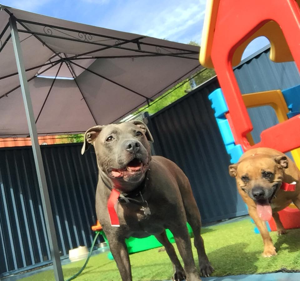 Gold Coast Pet Resorts Staffy