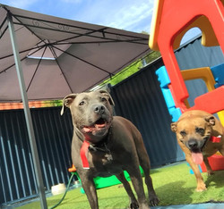Gold Coast Pet Resorts Staffy