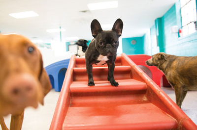 Gold Coast Pet Resorts frenchie