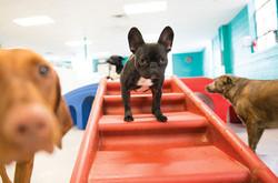 Gold Coast Pet Resorts frenchie