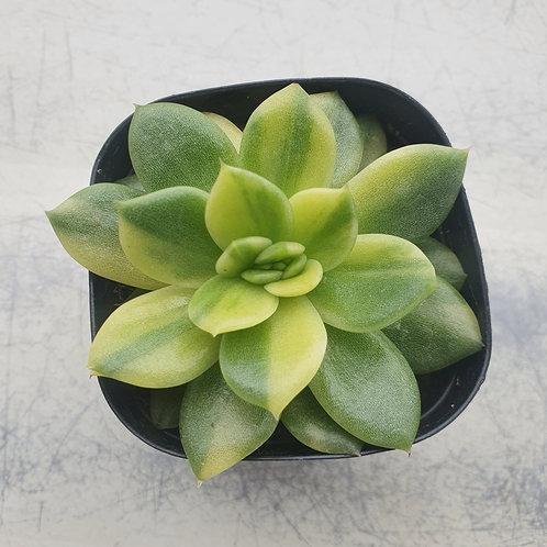 Echeveria Agavoides Gilva variegated