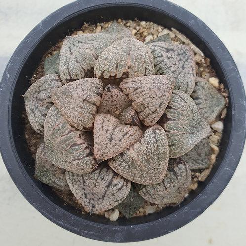 Haworthia sp