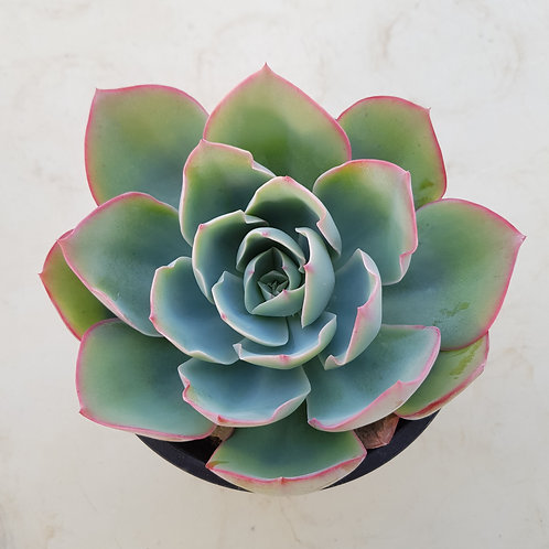 Echeveria Leon light