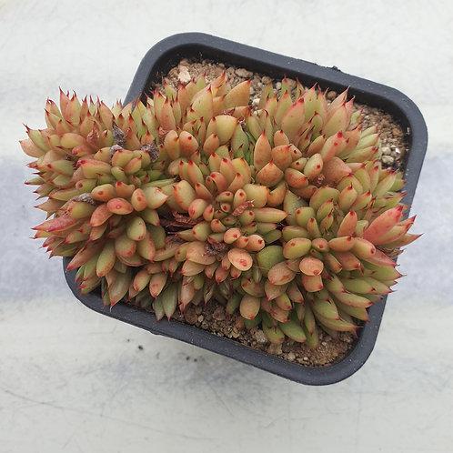 Echeveria Agavoides (gold label) Cristata