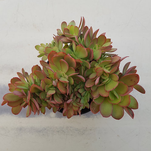 Echeveria liminus Cristata