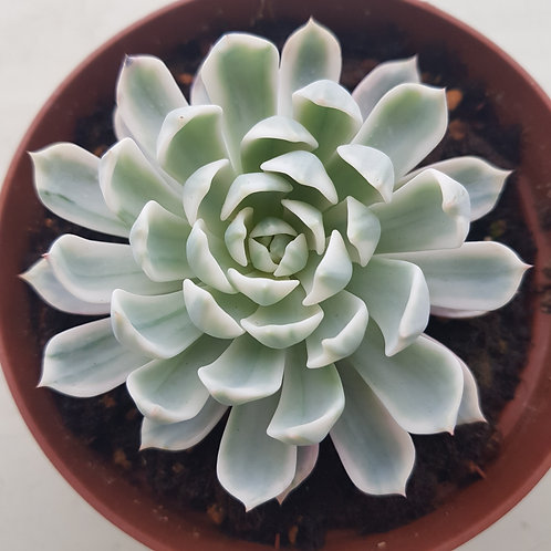 Echeveria Royal chrysanthemum Variegated