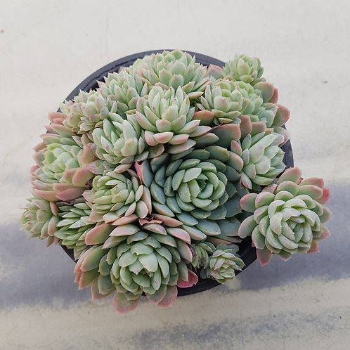 Echeveria Raspberry Ice