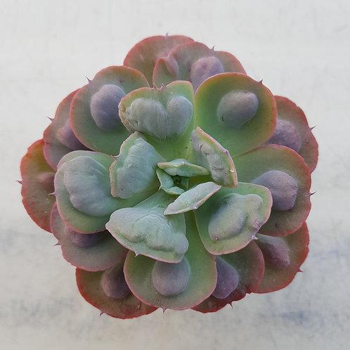 Echeveria Heart Delight