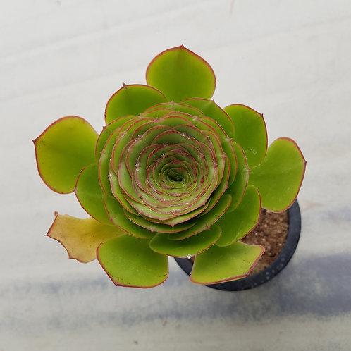 Aeonium sp