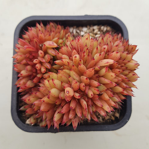 Echeveria Agavoides sp (Gold Label) Cristata