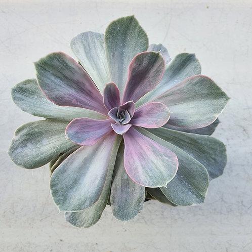 Echeveria cv Peale von Nurnberg variegated