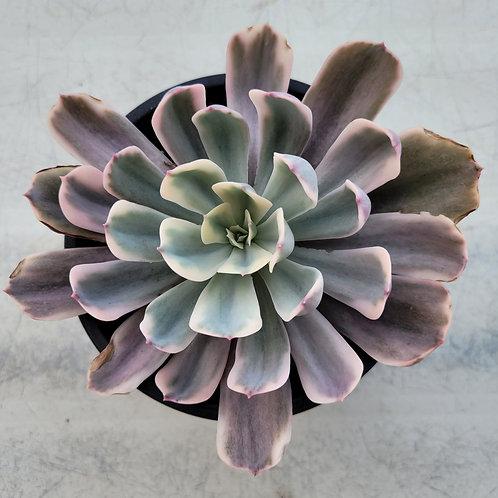 Echeveria Imbricata variegated