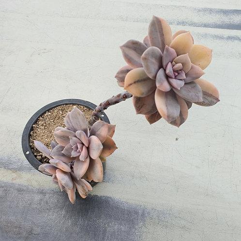 Graptopertalum Pentandrum superbum variegated