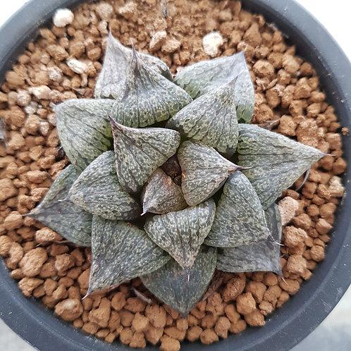 Haworthia Splendens hybrid