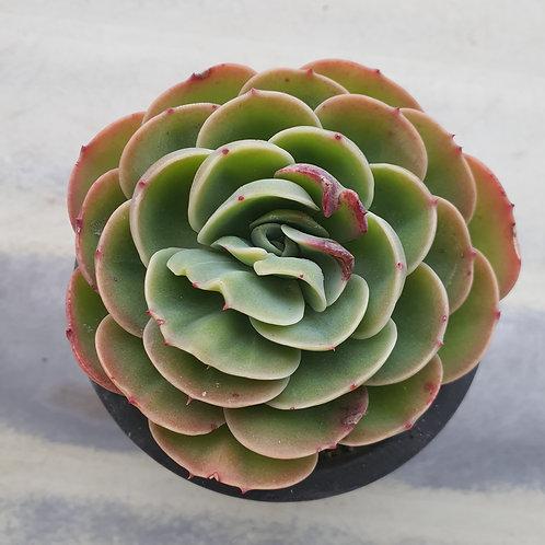 Echeveria Esmeralda