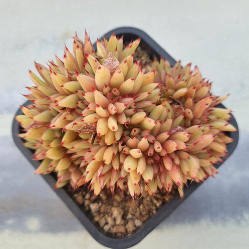 Echeveria Agavoides gold label Cristata