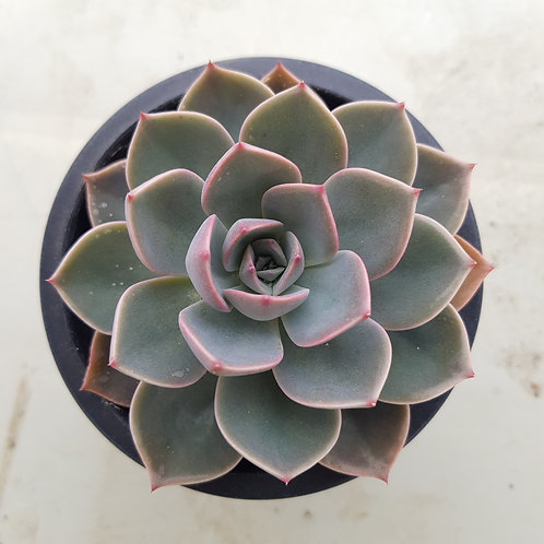 Echeveria Tinkerbell