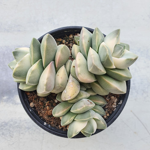 Crassula cv Moonglow variegated