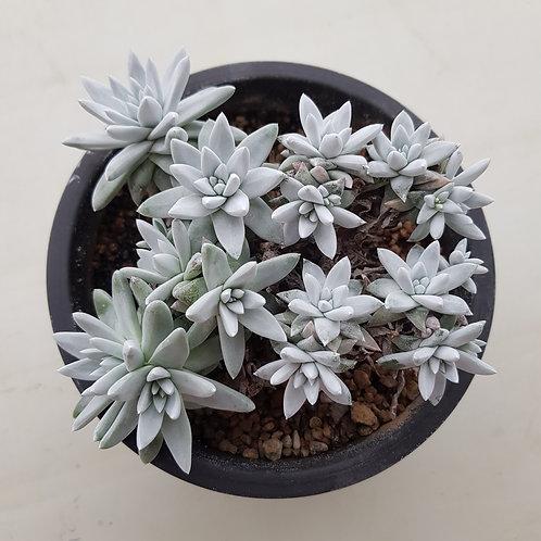 Dudleya White greenii