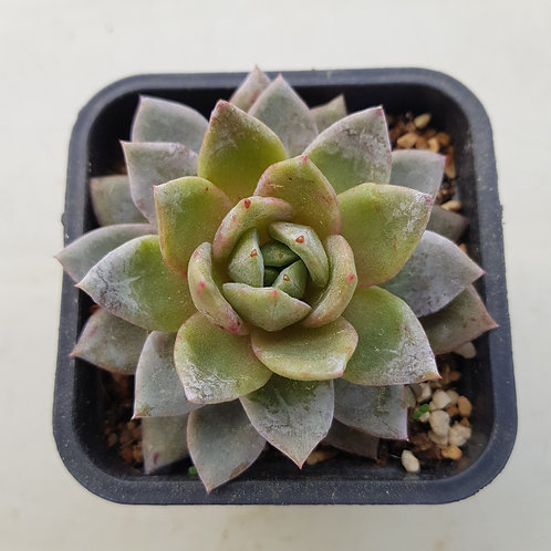 Echeveria German Champagne