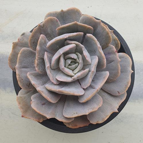Echeveria Lilicina variegated