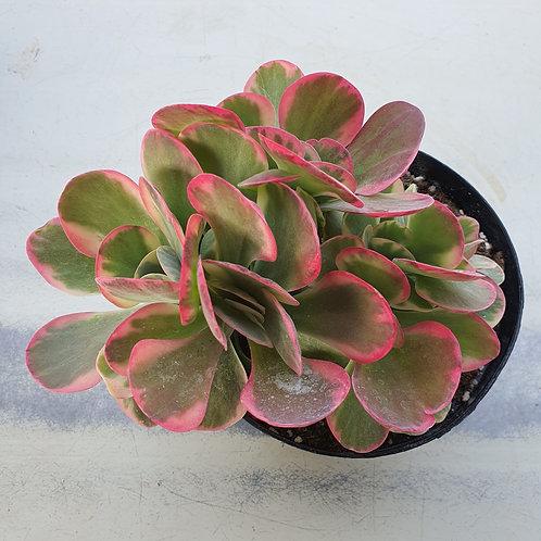 Kalanchoe thysifolia variegated, Cristata