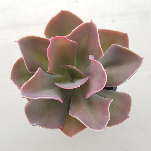 Echeveria Brush Wine