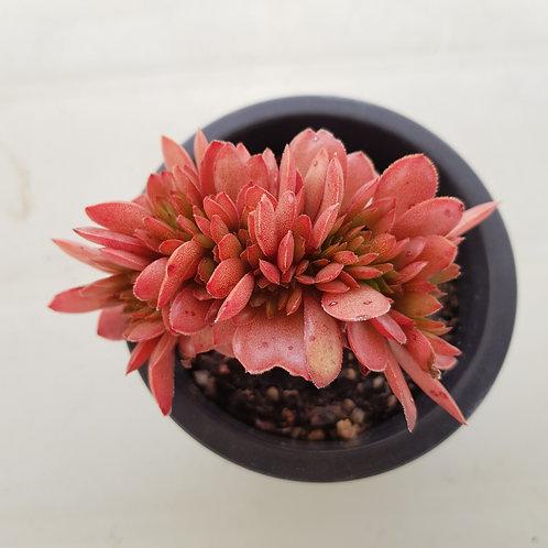 Echeveria Red Mountain Cristata
