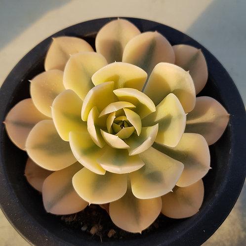 Echeveria Macebenia Variegated