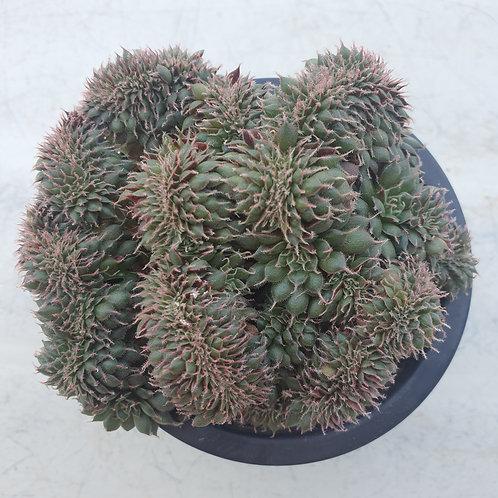 Echeveria Poriferum Cristata