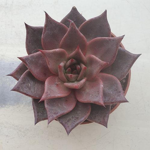 Echeveria Agavoides red ebony