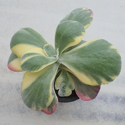 Kalanchoe thysifolia variegated