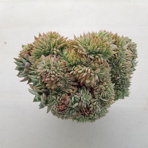 Echeveria Agavoides sp (agado) Cristata