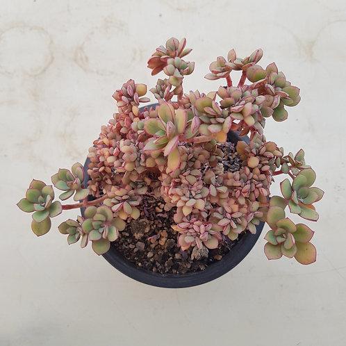 Echeveria sp (Whitei) Cristata