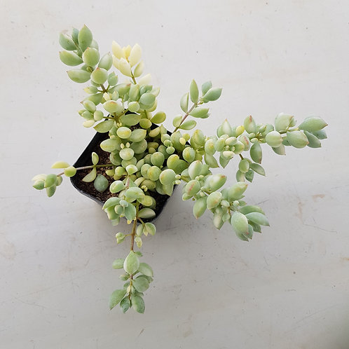 Cotyledon pendens Variegated