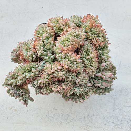 Echeveria Tippy Cristata
