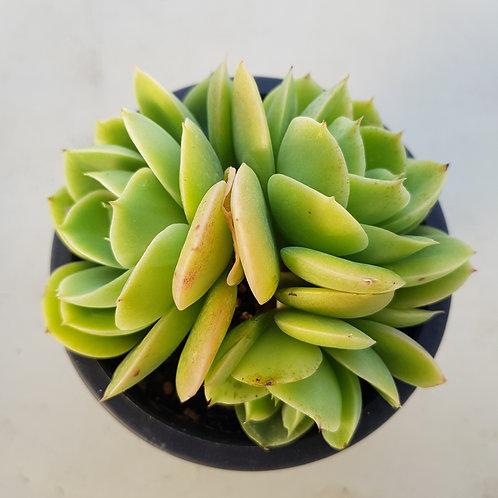 Echeveria Beltana
