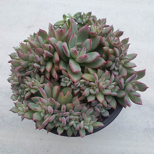 Echeveria Colorabin Cristata