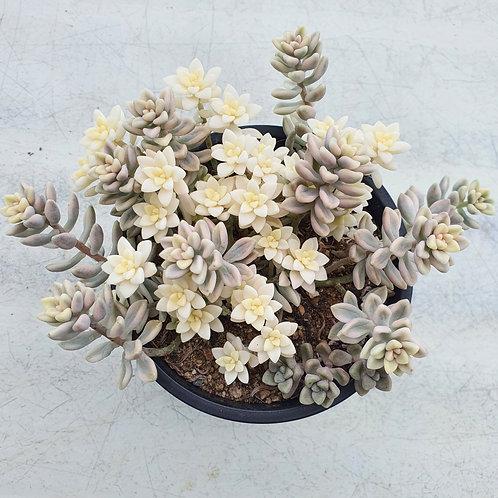 Graptopertalum mirinae variegated