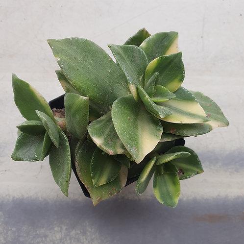 Crassula sp variegated