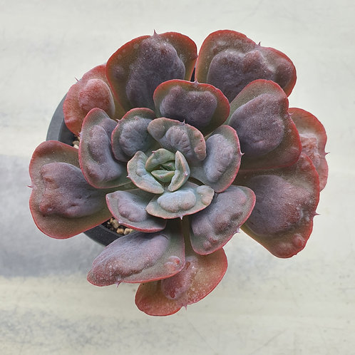 Echeveria Heart delight