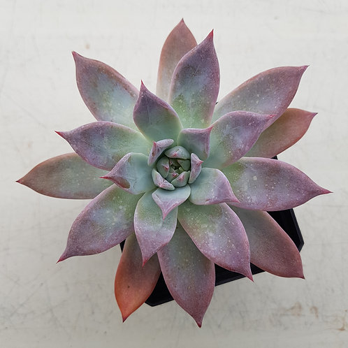 Echeveria Colorata fma brandtii