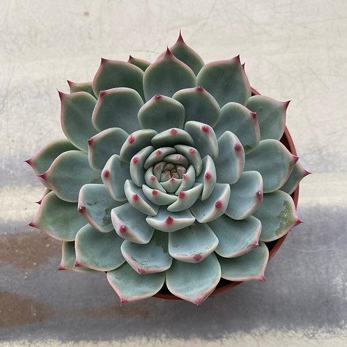 Echeveria sp (Parva)