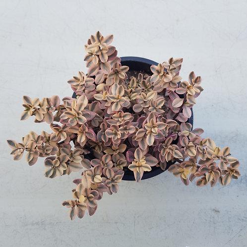 Crassula pellucida f. Variegated