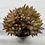 Thumbnail: Echeveria Agavoides sp cristata